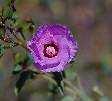 Sturt's Desert Rose by Lisa Evans