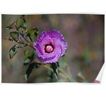 Sturt's Desert Rose Poster