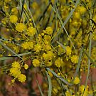 Colony Wattle by Lisa Evans