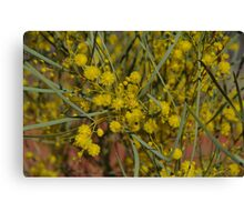 Colony Wattle Canvas Print