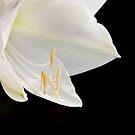 Amaryllis  by Peter Wickham