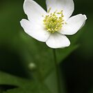 Canada Anemone (Anemone canadensis) by Renee Blake