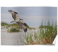 Osprey In Flight Over The Beach Poster