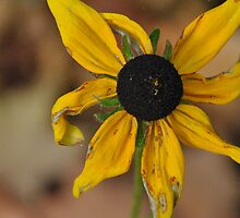 Old Blackeye Susan by Sofia Khrystyne Whitney