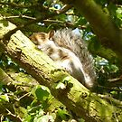 Sleeping Squirrel by Vicki Spindler (VHS Photography)