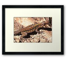 Middle American Ameiva, Central American Whiptail, or Tiger Ameiva (Ameiva festiva), Mexico Framed Print
