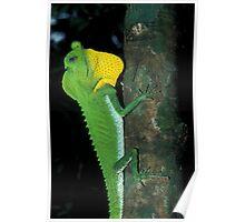 Hump-Nosed Lizard, Lyriocephalus scutatus, Sri Lanka  Poster