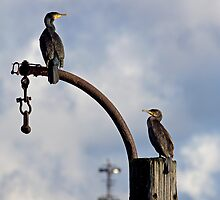 two cormorants by davejw