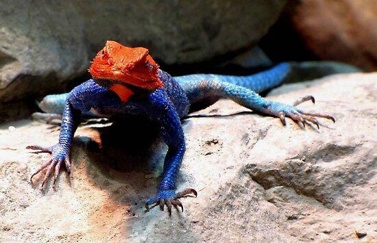 Rainbow Agama by Veronica Schultz