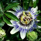 Passion Flower (sweet calabash) by TeaAira