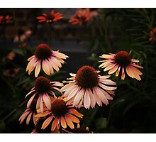 Echinacea Flowers - High Line Park - New York City Photographic Print