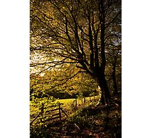 Evening Beech Photographic Print