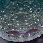 Giant FlatHead, Fly Point, Nelson Bay, NSW, Australia by Allan Saben