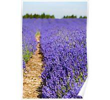 Lavender's Blue Poster