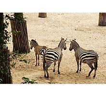Stripes... Zebra Family Photographic Print