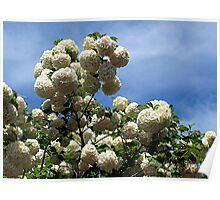 Snowball Tree (Viburnum opulus) Poster