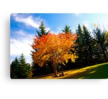 Maple tree in Fall, Alberta Canada Canvas Print