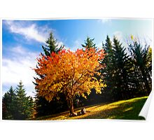 Maple tree in Fall, Alberta Canada Poster
