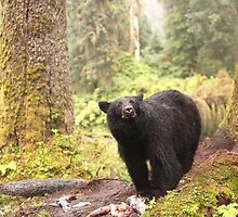 Curious Black Bear by Gina Ruttle  (Whalegeek)