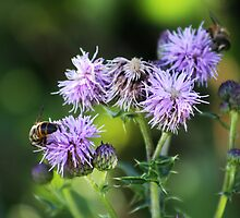 Thistles and Bees by Alyce Taylor