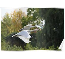 Mute Swans In Flight Poster