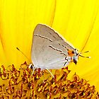 Bright Yellow Sunflower with Grey Hairstreak butterfly Macro by Cassandra Scarborough