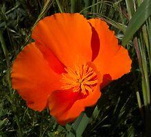 Orange California Poppy by Martha Sherman
