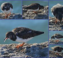 A Turnstone at the Harbour,  Lyme, Dorset UK by lynn carter