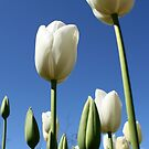 White Tulips by Leigh Penfold