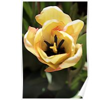 Yellow and Pink Tulip Poster