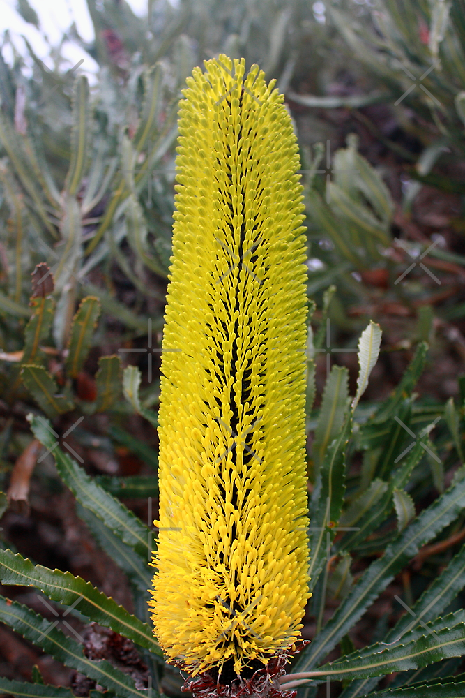 Banksia Attenuata (Candle Banksia) by Elaine Teague