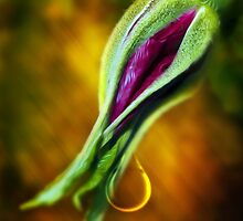 Rose Bud Tear by Svetlana Sewell