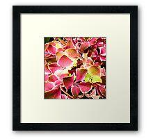 Pink Hydrangeas Framed Print