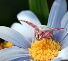 Thomisus (flower crab spider) by Ann  Palframan