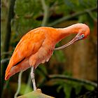 Scarlet Ibis by Thom  Perry