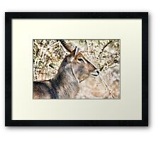 Male Waterbuck Close Up Framed Print