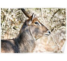Male Waterbuck Close Up Poster
