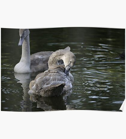 Young cygnet grooming itself Poster