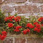 Red berries on the wall by Eva  Ason