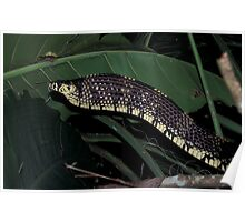Tigre Snake, Spilotes pullatus, Guatemala. Defensive position. Poster