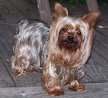 Funky Yorkshire Terrier