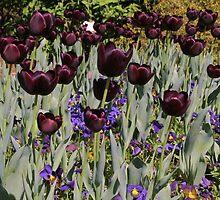 tulips by lauren27
