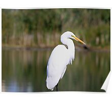 Up Close & Personal With An Egret Poster