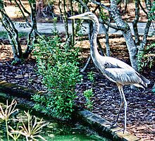 Tall and Slender, Great Blue Heron by AuntDot