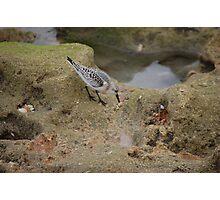 Adult Sanderling Near Tidepool Photographic Print