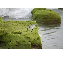 Sanderling With Tide At Juno Beach Photographic Print