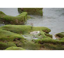 Adult Sanderling Photographic Print