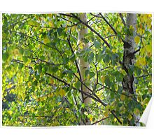 cottonwoods in Slovakia Poster