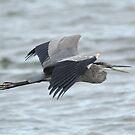 Great Blue  Heron in Flight by marilynwood