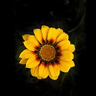 Gazania (iP4) by fotoWerner